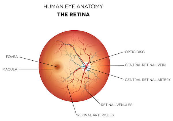 Diagram of the Retina.